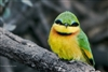 Bird Photography | Little Bee Eater Up Close