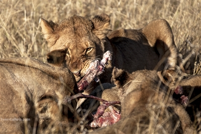 Wild Animal Photography Prints | Lion Cub Eating Wildebeest