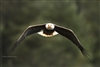 Bird Photography | Bald Eagle with Fish in Talons