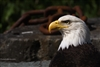 Bird Photography | Bald Eagle with Rusty Chain