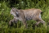 Lynx in Denali Park Alaska | Wildlife Photography