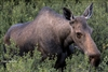 Wildlife Photography | Moose in Denali National Park