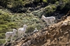 Dall Sheep Family on a  Cliff in Denali National Park | Wildlife Photography
