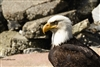 Bird Photography | Bald Eagle Head Shot Up Close