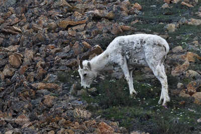 Wildlife Photography | Alaskan Dall Sheep Eating