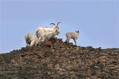 Wildlife Photography | Dall Sheep Climbing Mountains