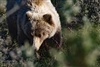 Wildlife Photography | Grizzly Bear Close Up