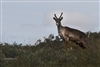 Wildlife Photography | Caribou Denali National Park