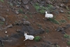 Landscape & Wildlife Photography | Two White Horn Sheep