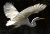 Bird and Fine Art Photography | Great Egret