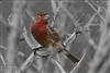 Bird Photography | House Finch in Leona Valley
