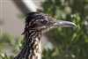 Roadrunner Head Shot Close Up