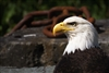 Bald Eagle Head Shot Next to Rusty Chain in Alaska | Bird Photography