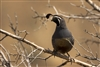 Quail with head turned perched on branch | Bird Photography