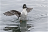 Bird Photography | Common Goldeneye Duck