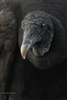 Bird Photography | Black Vulture | Everglades