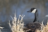 Fine Art Photography | Canadian Goose | Omaha, Nebraska