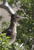 Full Body Roadrunner | Fine Art Bird Photography
