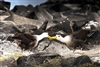 Waved Albatross | Galapagos Islands | Bird Photography