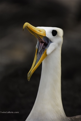 Waved Albatross | Fine Art Photography | Galapagos Islands