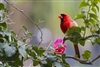 BIrd Photography | Fine Art Photography | Red Northern Cardinal