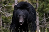 Black Bear in Banff National Park | Wildlife Photography