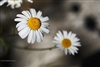 Landscape Photography | Oxeye Daisy in Jasper