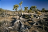 Landscape Photography | Joshua Tree National Park | Some Die Others Live