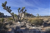 Fine Art Photography | Desert Landscape | Joshusa Trees and Sage Brushes