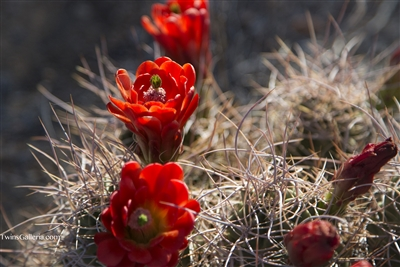 Fine Art Photography | Blooming Mojave Mound Cactus | Landscape Photography