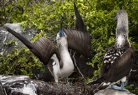 Bird Photography | Blue Footed Booby | Galapagos Islands