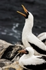 Bird Photography | Nazca Booby | Galapagos Islands