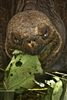 Ecuador | Galapagos Islands | Giant Tortoise Eating