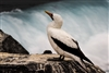 FIne Art Photography | Bird Photography | Galapagos Islands | Nazca Booby