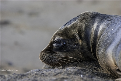 Wildlife Photography | Fine Art Photography | Close up of Seal Pup