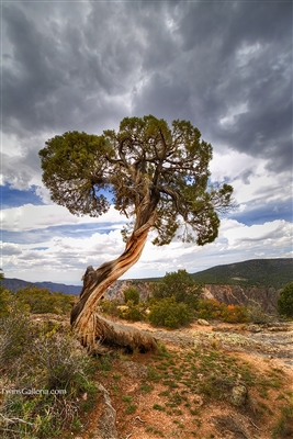 Twisted Tree in Black Canyon of the Gunnison: Photography Prints