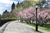 NYC Fine Art Photography Print of Spring Blooms in Central Park
