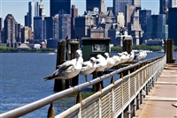 Landscape Photography Prints | Seagulls on the Bridge Railing NY