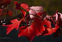 Close up of Red Maple Leaves in Vermont