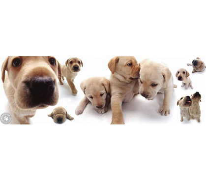 Cute Labrador Puppy Wall Poster