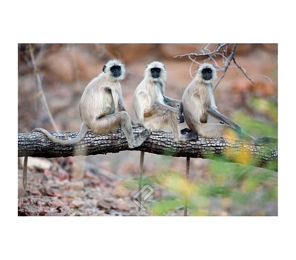 Gray Langurs on Tree Family Poster
