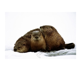 Artic River Otters Family Poster