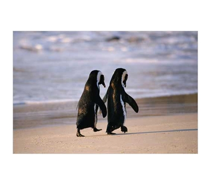Needed Wall Decorations - African Penguins On The Beach - Wall Poster - Cute And Cool