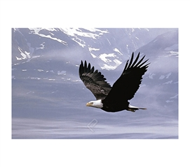 Bald Eagle Flying Over the Mountains Poster- Scenic picture of eagle flying
