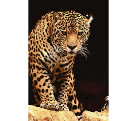 Exotic & Beautiful Leopard Poster