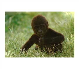 Cute and Free Gorilla Baby Poster
