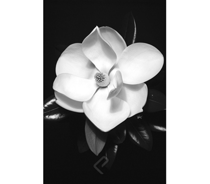 Magnolia Poster black and white dorm decor poster showing single magnolia with petals