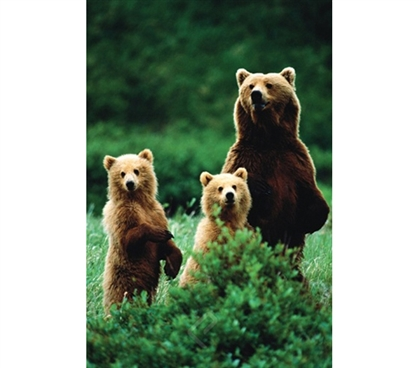Three Bears Poster Dorm poster college decorating idea features bear with 2 cubs in wild