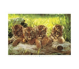 Tiger Cubs Poster cute dorm decor poster 4 tiger cubs leaning on log