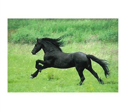 Black Horse Running Poster - outdoor wildlife scene showing black horse running free in college dorm room poster